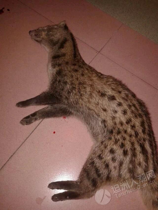 朋友昨晚抓到个野生果子狸