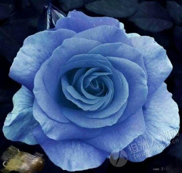 花艺篇–蓝色妖姬