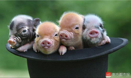 养猫,养狗,养小鸟,养乌龟,养金鱼,而珠海市民陈女士则养了一只宠物猪.