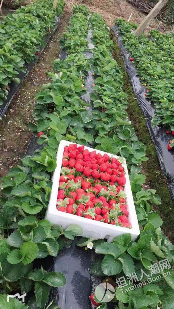 【汇总】不要再问摘草莓在哪里?坦洲这些地方总有一处适合你!