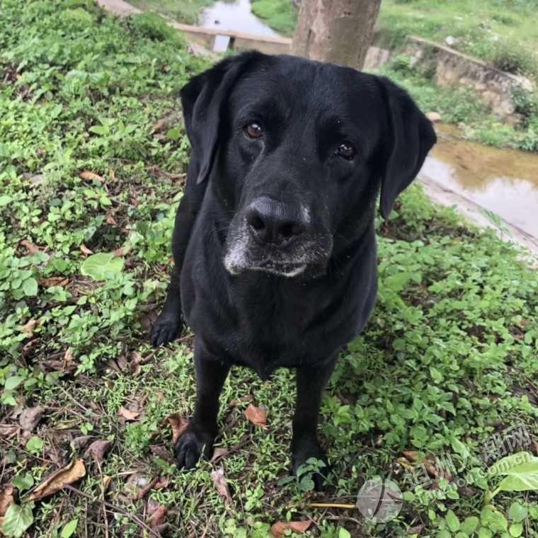 (已找到)寻找犬(拉布拉多)在坦洲枝埔村被带走