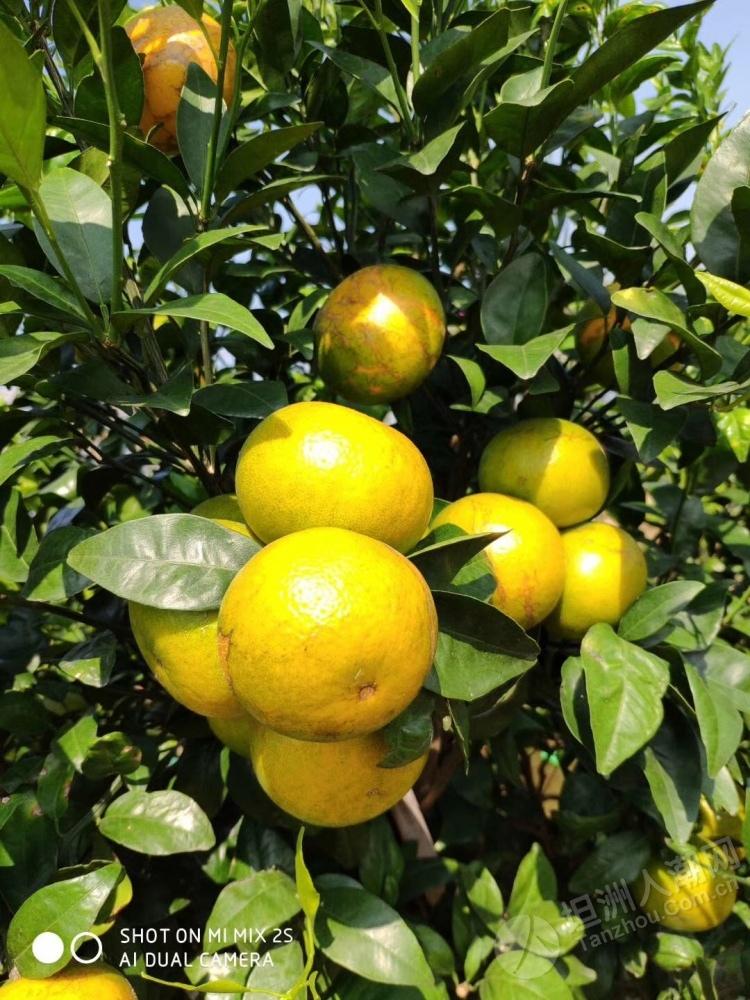 【水果情报】坦洲小水果新品种:沃柑,大家吃过没有?