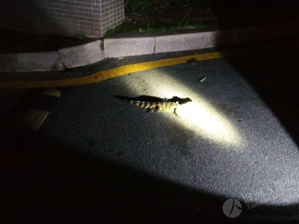 坦洲某小区捉到鳄鱼?