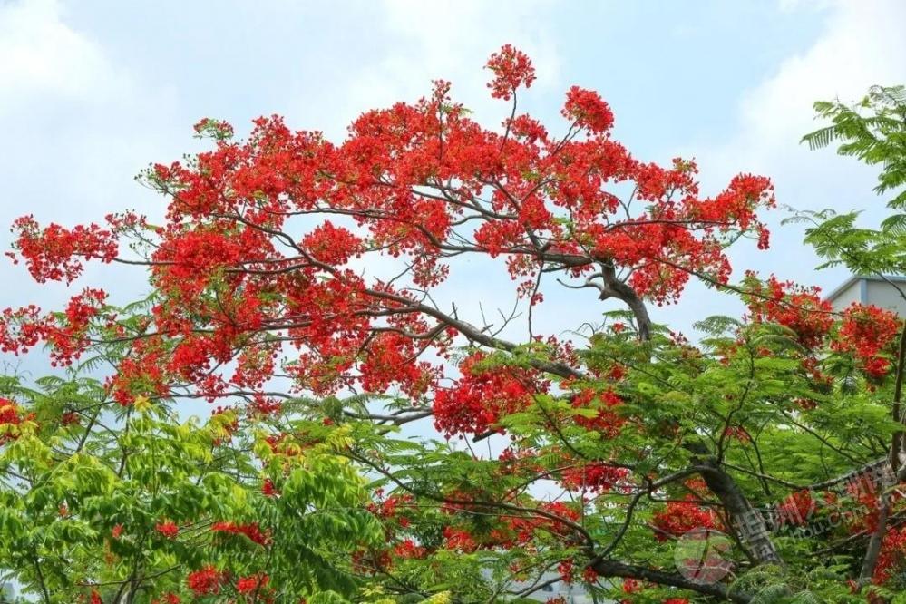 坦洲哪里有这种花?