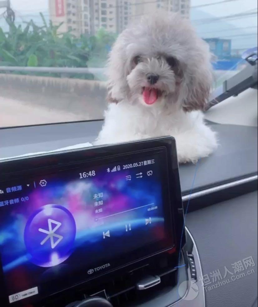 【寻狗启示】坦洲德秀路走失灰白色小狗,希望能提供线索