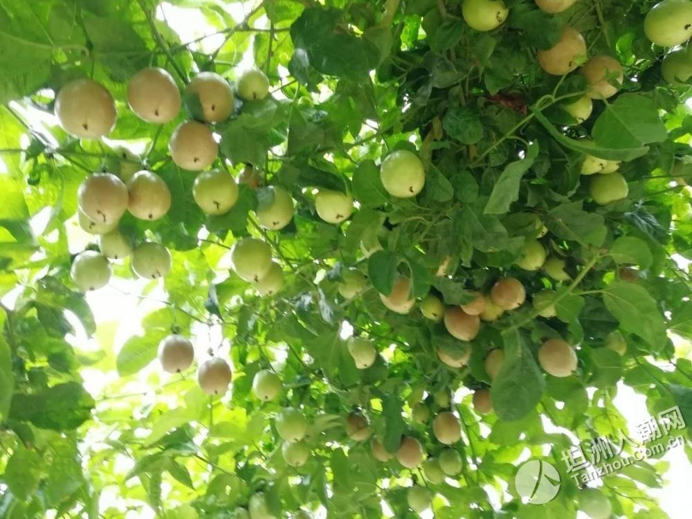 周末去玩吧!坦洲3万斤葡萄等你来摘,又甜又多汁~