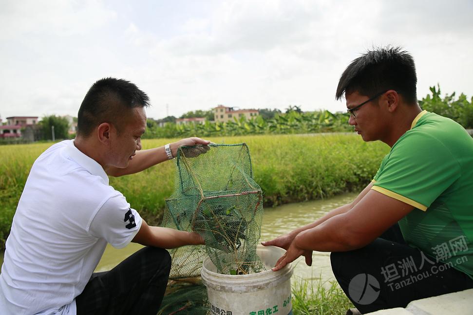 """坦洲镇预计打造一个1000多亩的""""稻虾共作""""示范园"""