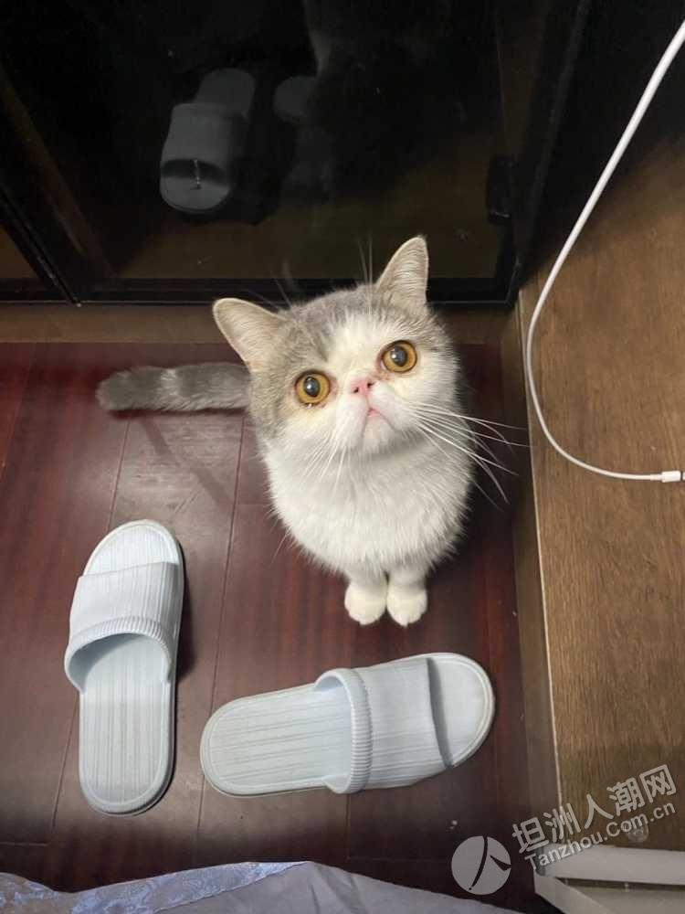 【寻猫】金帝世纪城附近走失加菲猫,请帮忙留意