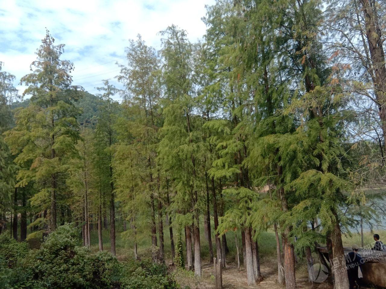 西坑头赏水杉