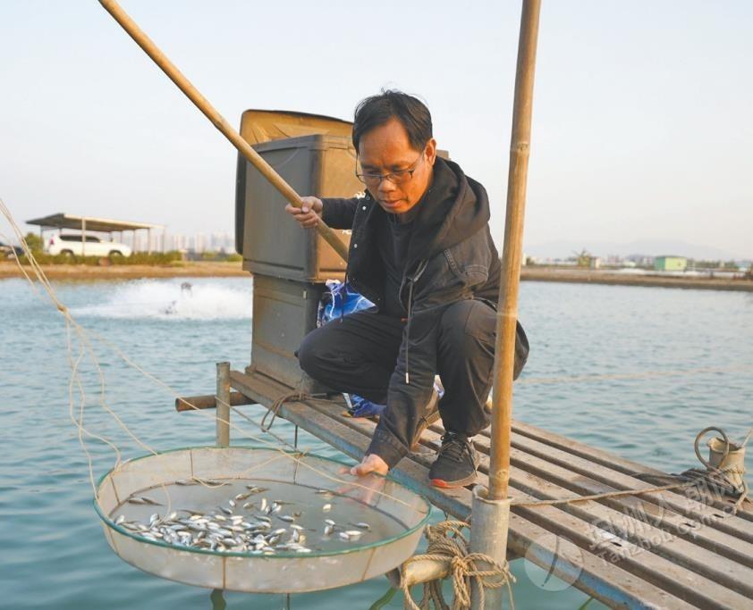 """年产值5000万元!坦洲有养殖基地以""""公司+基地+农户""""模式养殖海鲈鱼"""