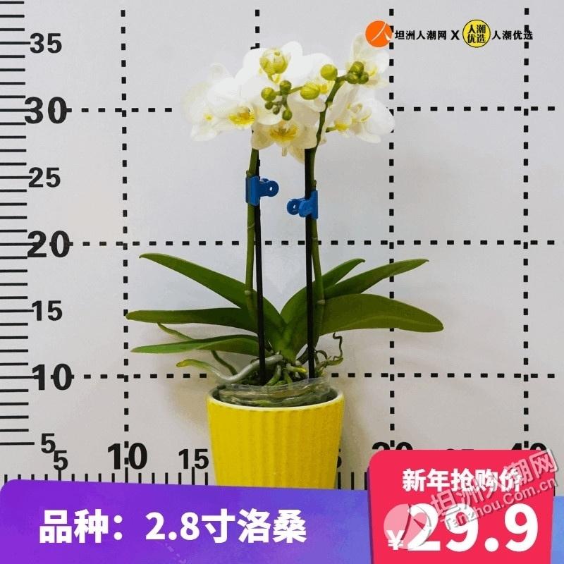 【岁末狂欢节】人潮会员岁末狂欢节兑换第1波:蝴蝶兰(小盆)