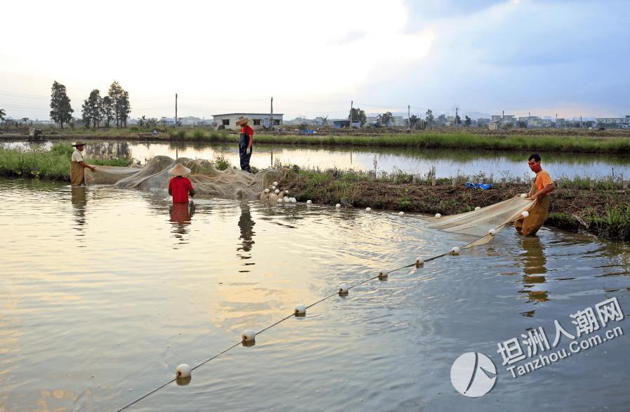 【坦洲那些事087期】水产养殖业产值在哪一年首次超过了种植业?