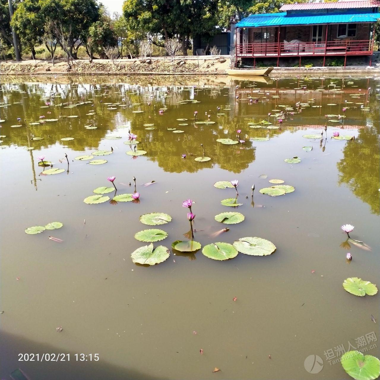 开园第二天,打卡神湾神湾香水莲花生态园