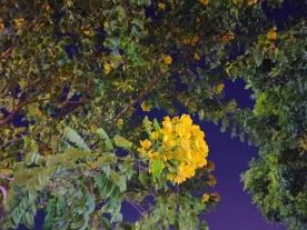 坦洲街头的小黄花,开得好好