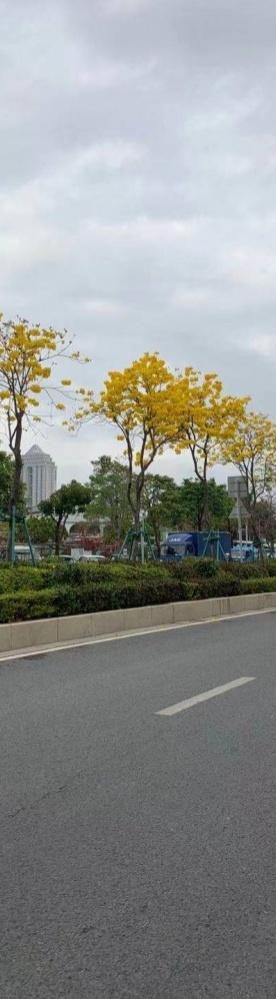 坦洲街头的黄花风铃木真好看