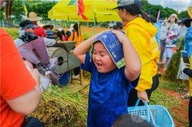 割稻谷、扎草人、捉鲩鱼……坦洲镇首届稻田丰收节太好玩了!