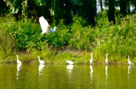 坦洲绿水青山环境美 白鹭翩跹来作伴